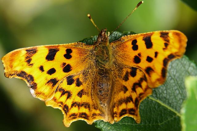 Comma Butterfly 1