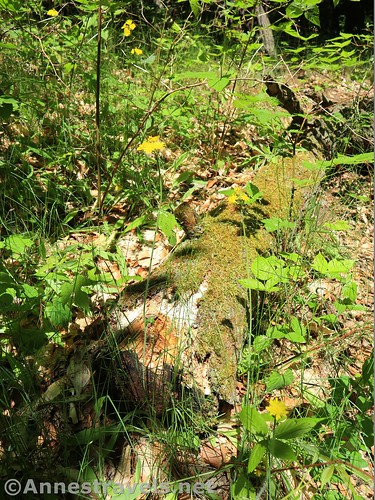 Wildflowers and an old log in the woods of Webster Park, New York