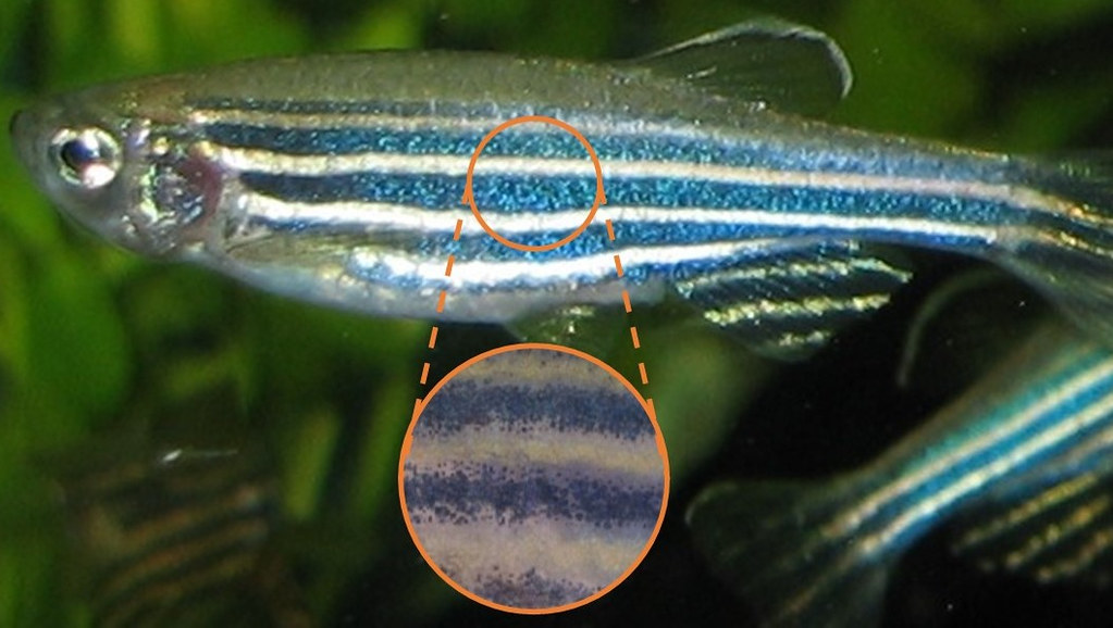 The stripes on the body of a fish