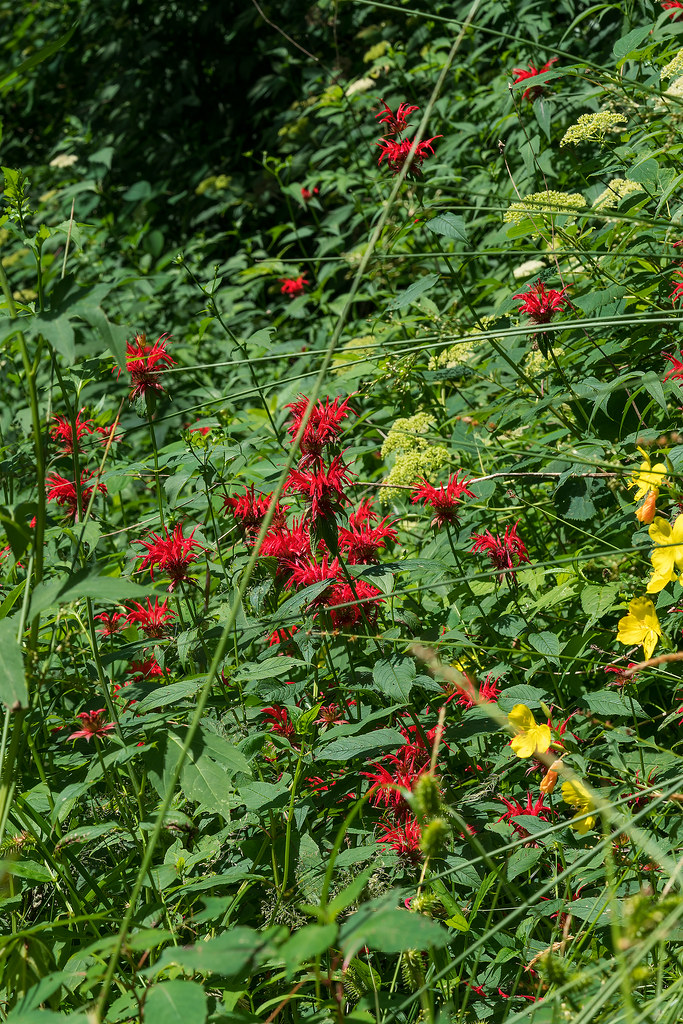 Scarlet Bee-balm