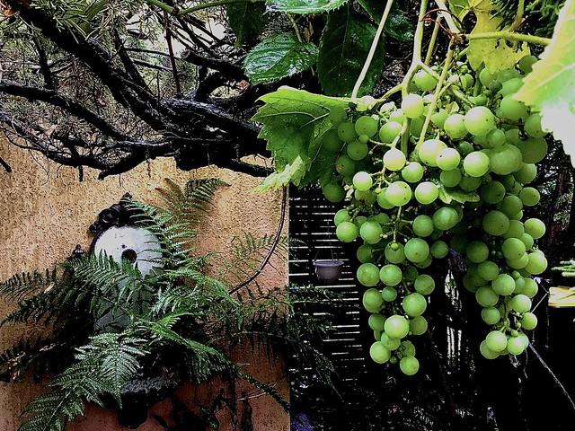 Grapes improve Brain Power