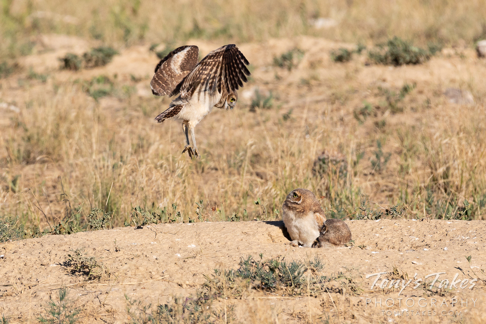 A burrowing owl owlet demonstrates its new-found ability to fly to two of its siblings. (© Tony's Takes)