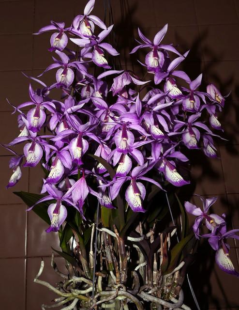 Barkeria spectabilis species orchid