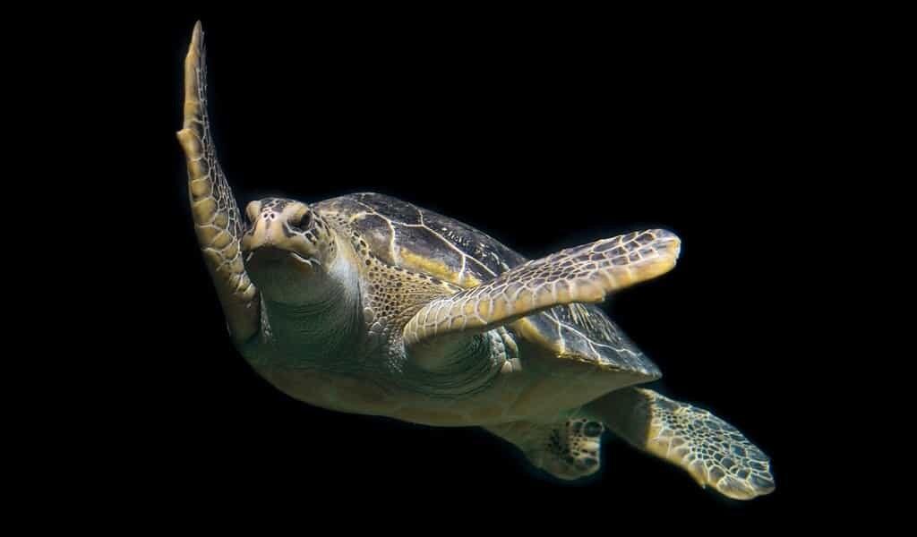 Les tortues de mer se perdent parfois dans l'océan