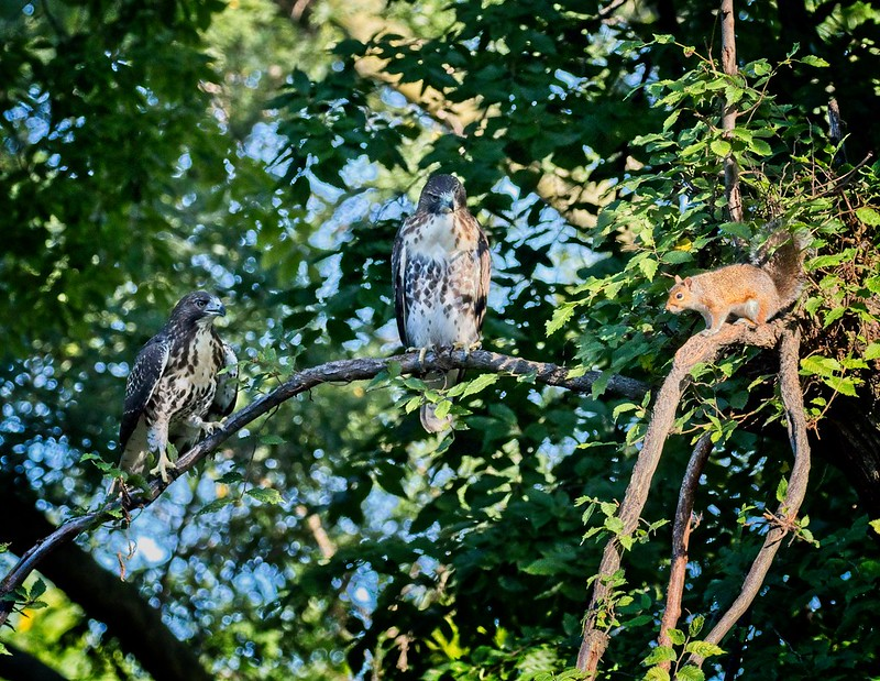 Red-tail fledglings and a squirrel