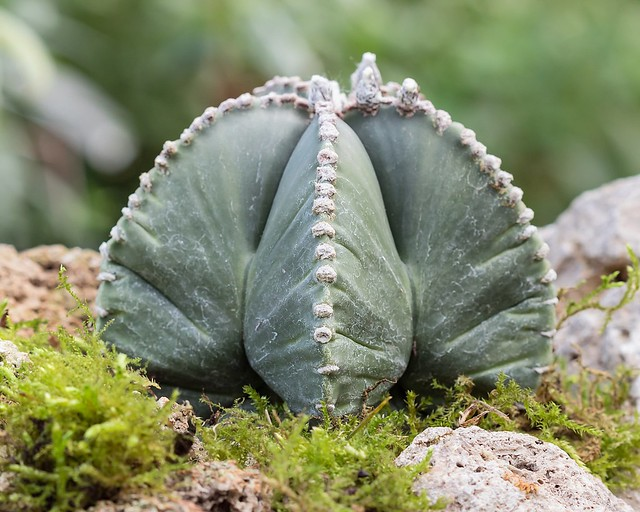 Astrophytum myriostigma 0012-2; Cactaceae (2)