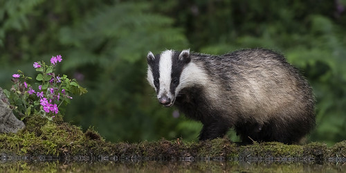 Badger | by cazalegg