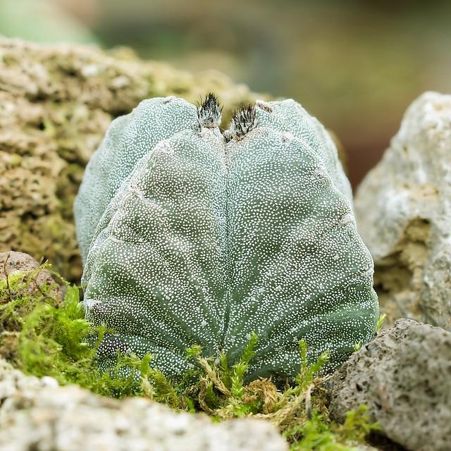 Astrophytum myriostigma ´Quadrangulare´ 0012-6; Cactaceae (1)