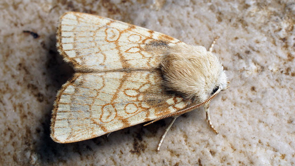 Dicycla oo - Heart moth - Совка двойное О