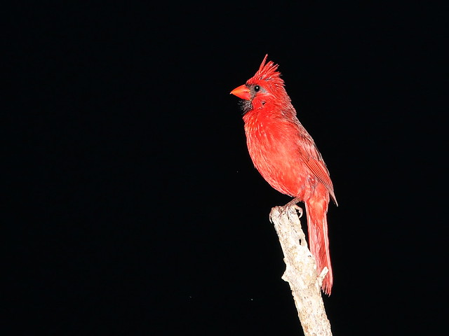 Northern Cardinal in the dark 02-20200716