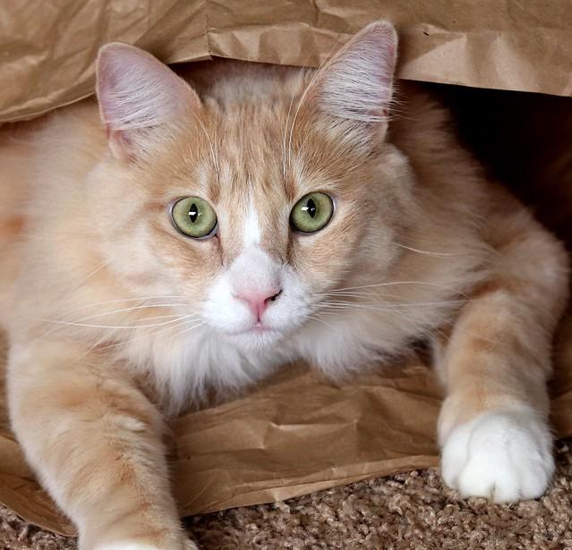 orange cat face - Norwegian