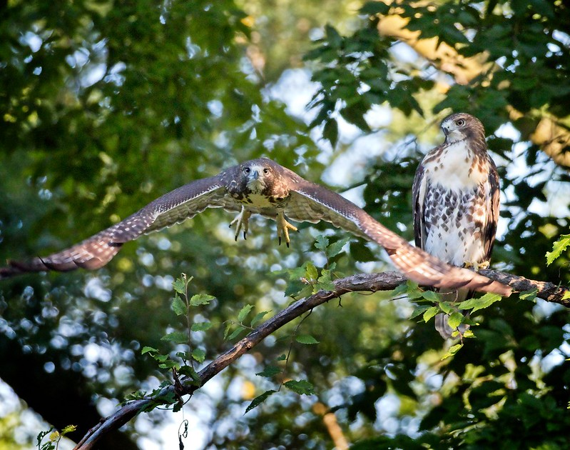 Tompkins Square red-tail fledglings