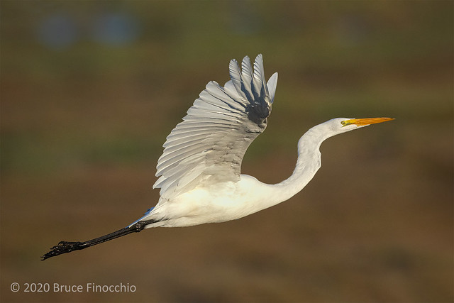 With Wings Up A Great Egret Climbs Upward Above Its Marsh Habitat