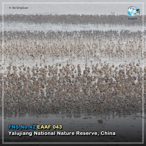EAAF043 (Yalujiang National Nature Reserve) Card News