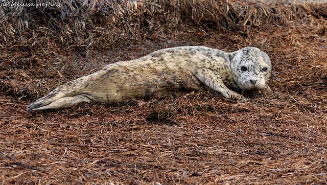 Harbour Seal (Phoca vitulina) - Delta, BC