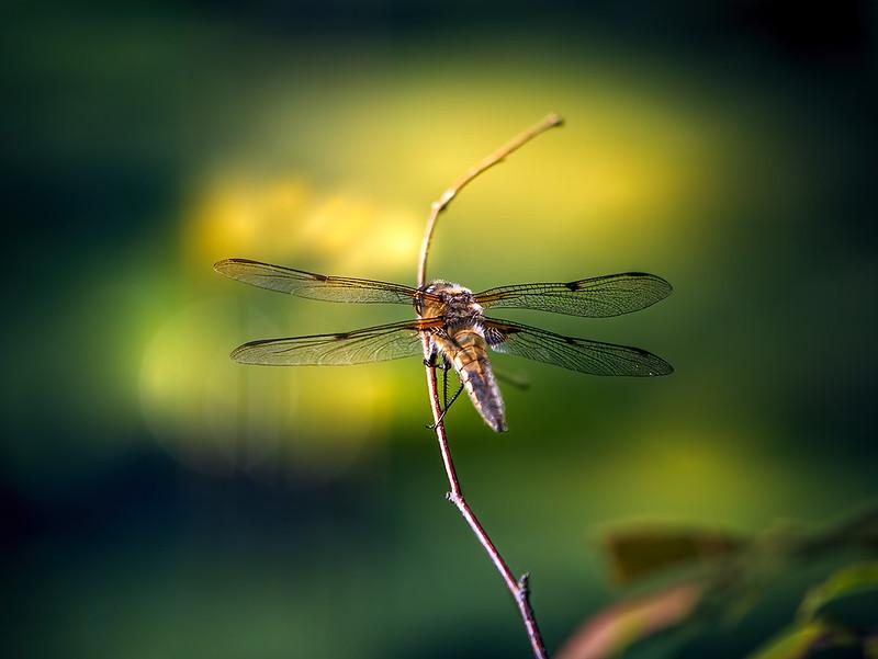 Dragonfly (panasonic 100-300mm) 50121571868_95f3b55b6e_c