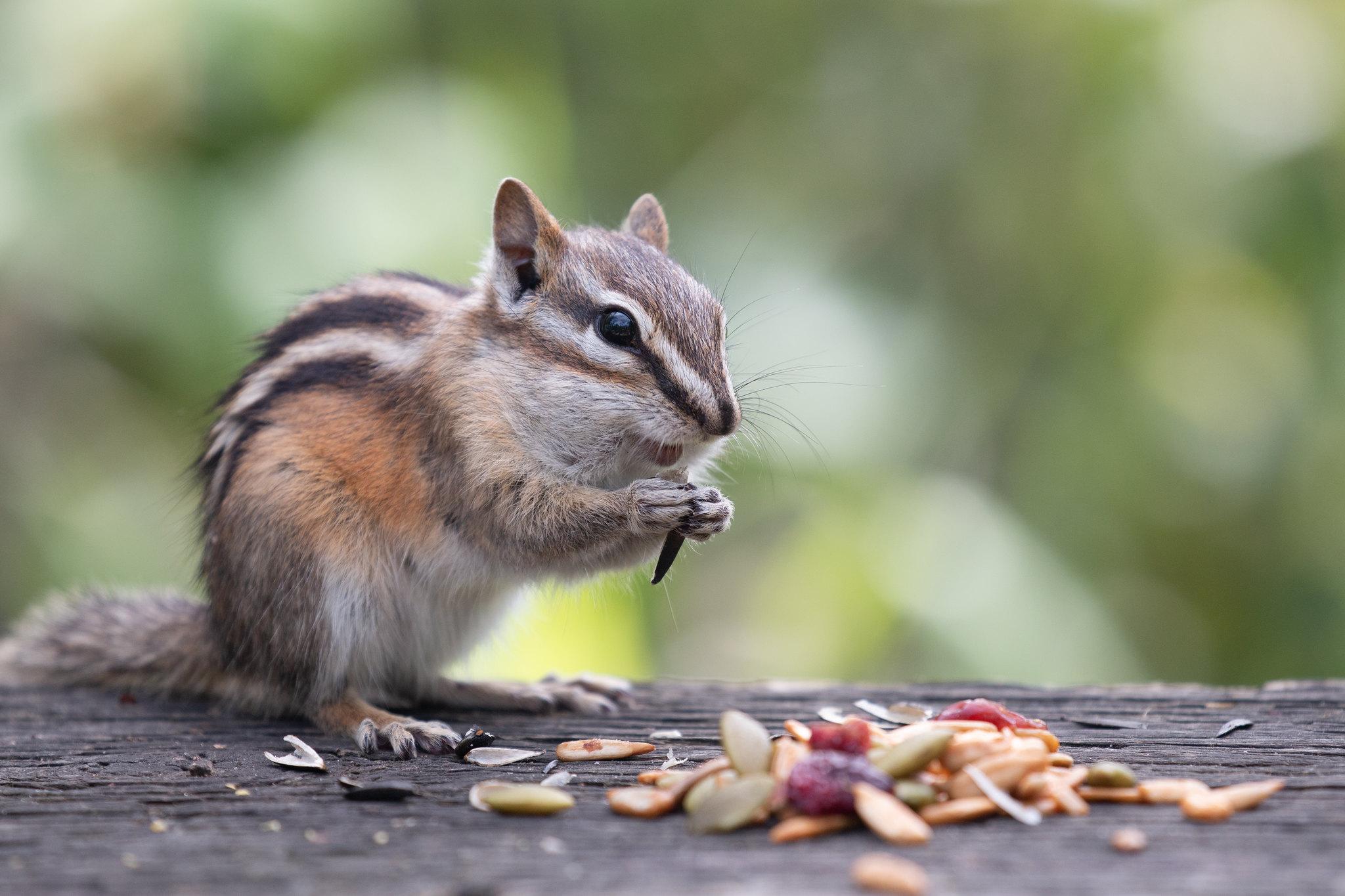 Happy Chipmunk (SOTC 364/365)