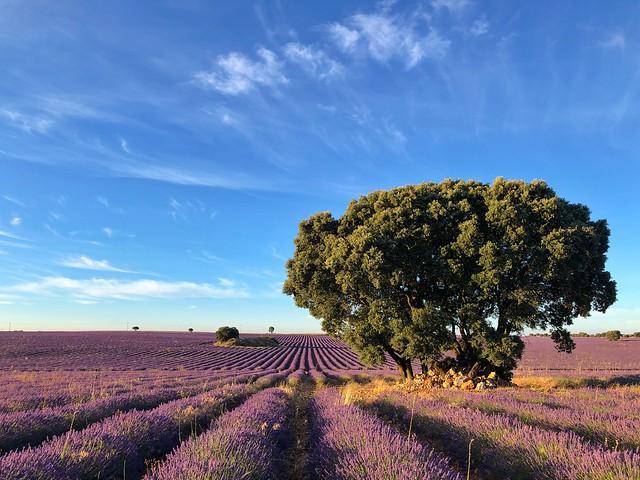 Floración de los campos de lavanda de Brihuega en el verano de 2020