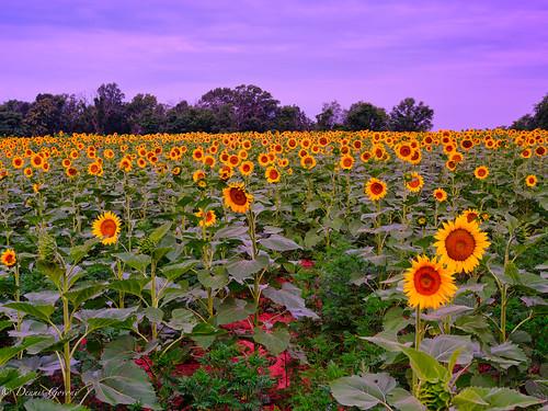 flower mckeebeshers clouds landscape maryland sky summer sunflowers sunrise