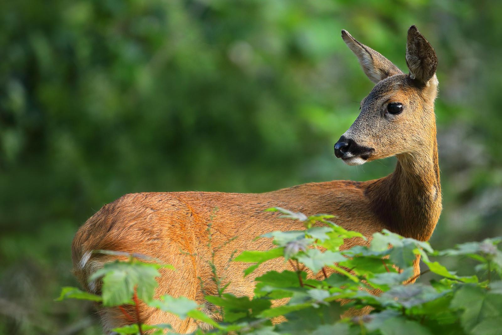 Roe Deer, Friston Forest