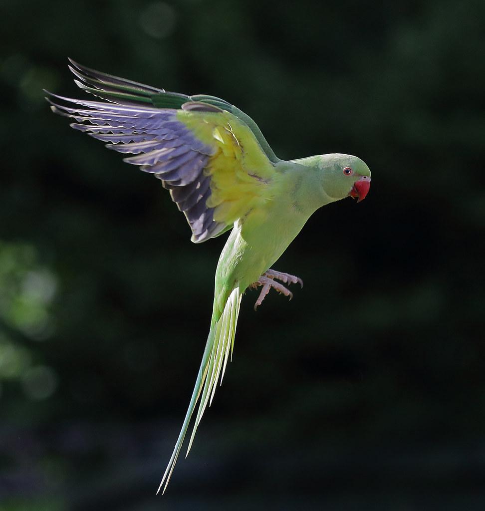 Ring Necked Parakeet in Flight