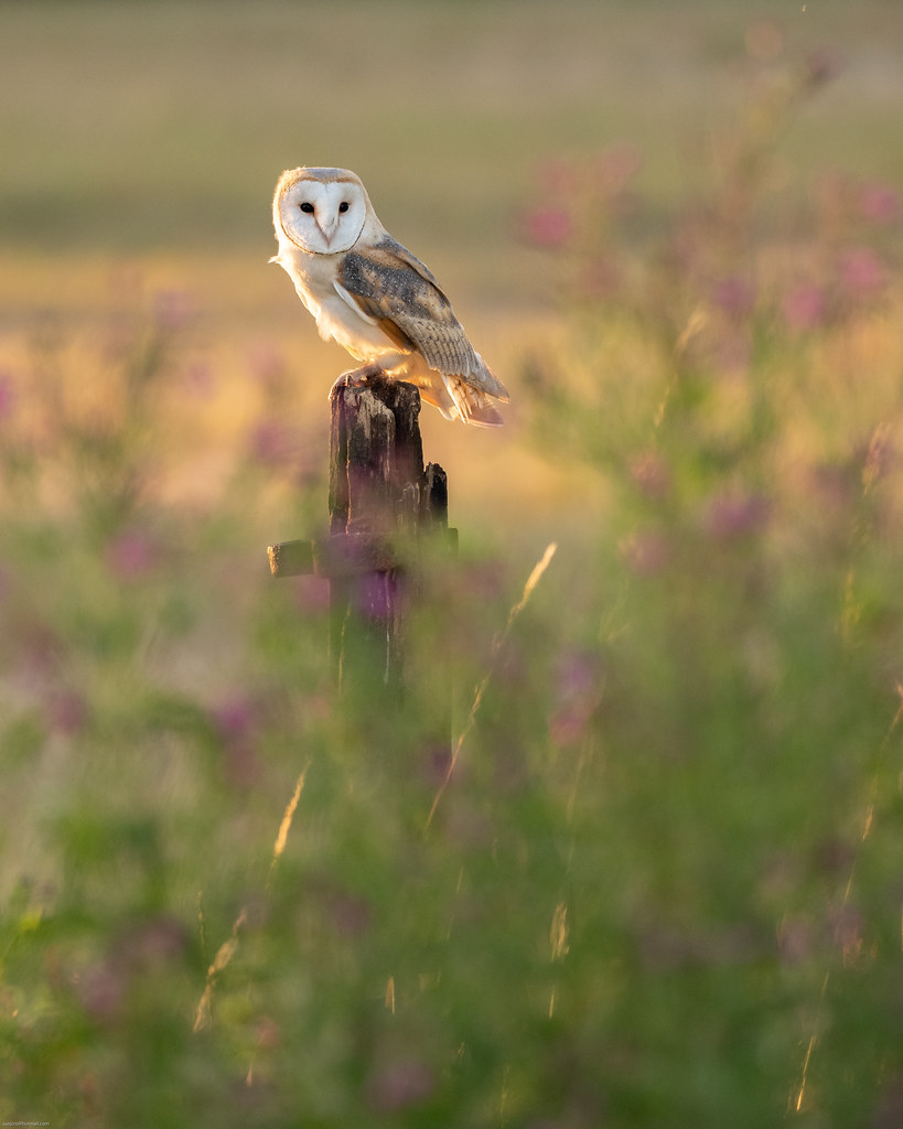 Barn owl in the wildflowers!