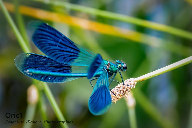 Calopteryx splendens - Explored