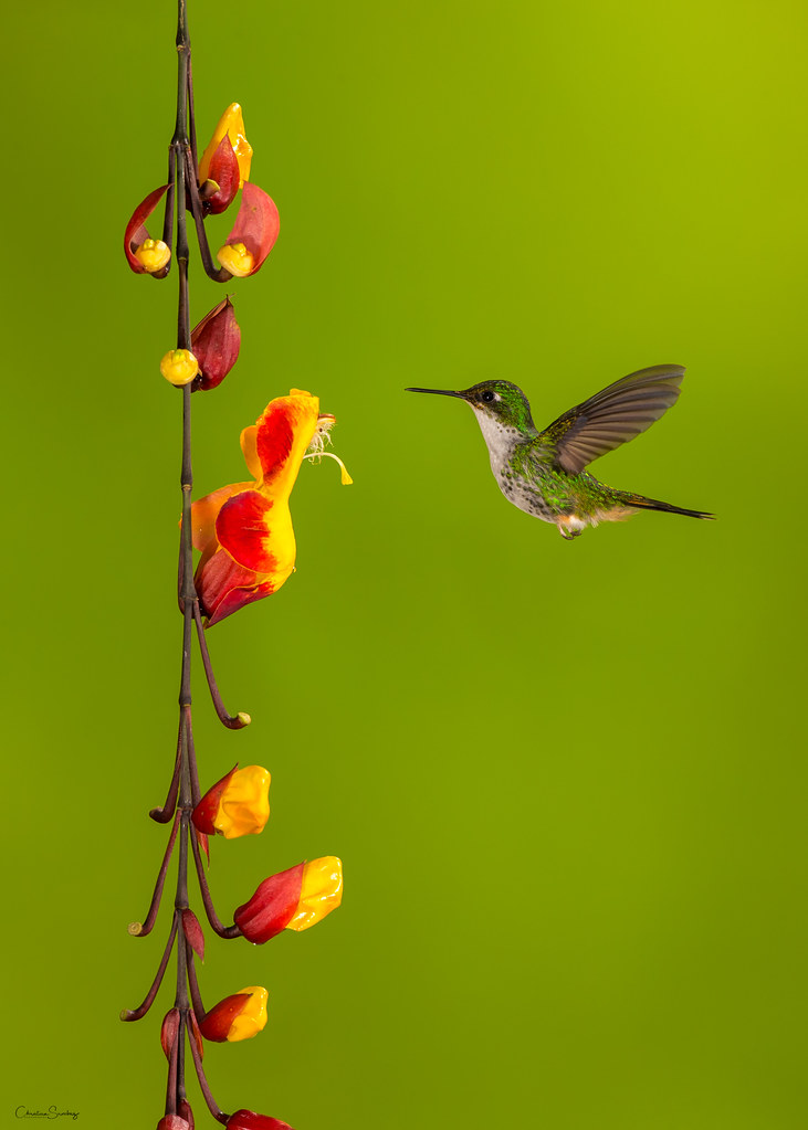 Booted racket-tail