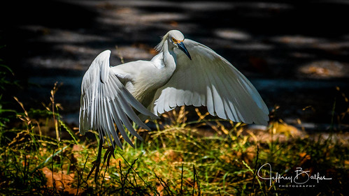birds egrets shorebirdrookery somya7m3 sony100400mm mtview ca us challengeclub challengeclubwinner faves50 thechallengegame alittlebeauty sunshinegroup coth coth5 faves100 waitpfr goldgallery