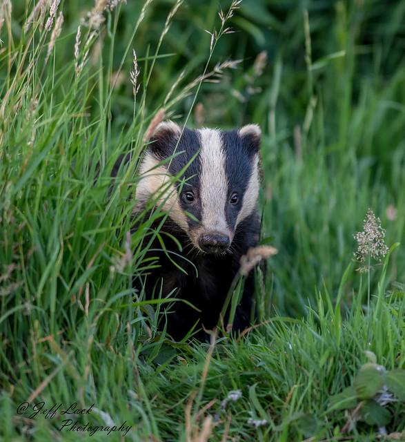 JWL7888  Badger....