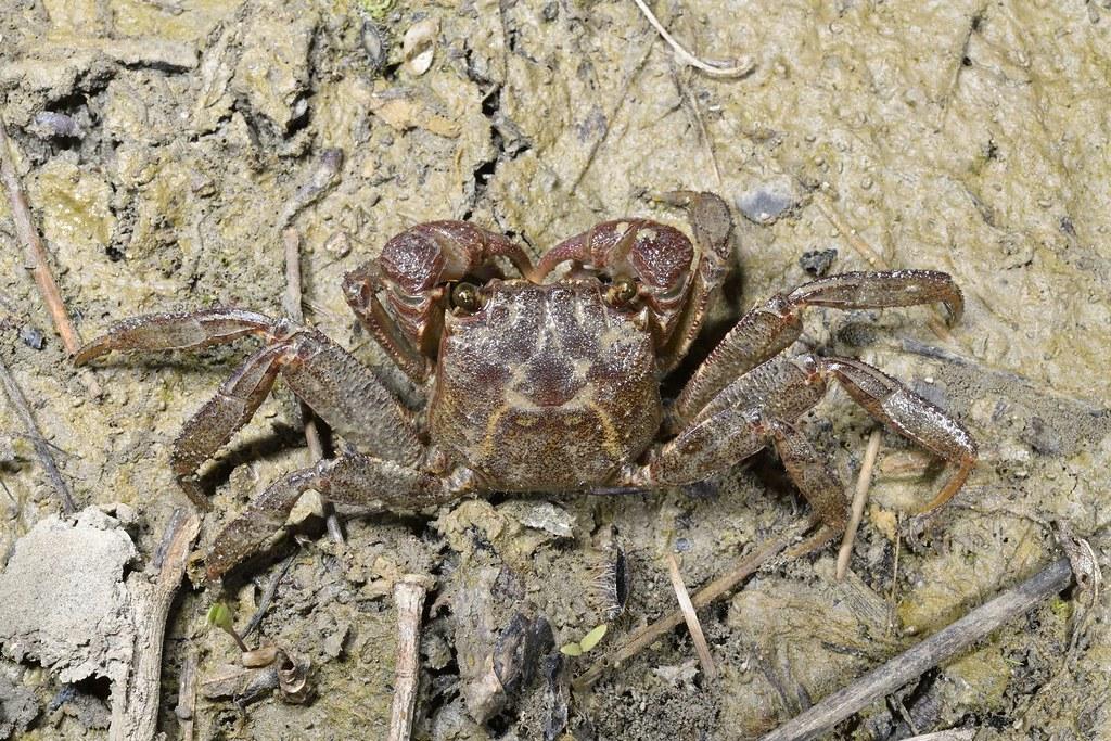 延遲仿相手蟹(Sesarmops mora)因複雜而長久的鑑定史得名,歷經20年才確認身分。圖片來源:墾管處