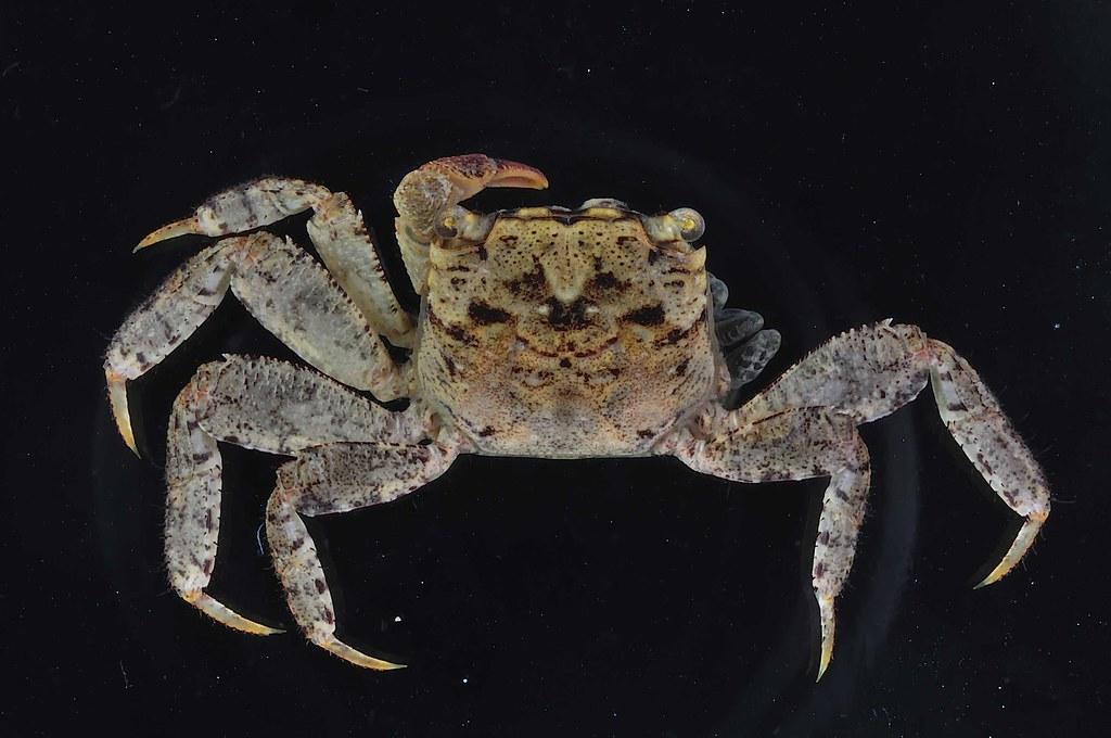 寬腹針肢蟹(Bresedium eurypleon),因其第6腹節比近緣種短足針肢蟹(B. brevipes)寬大而得名。圖片來源:墾管處