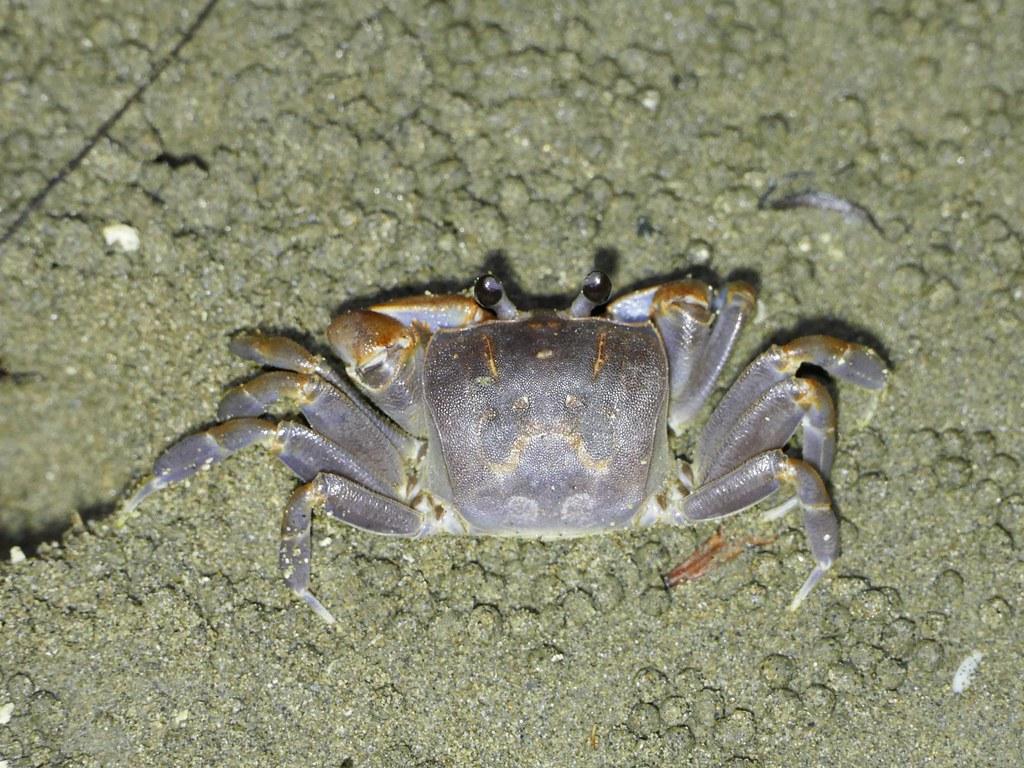 台江國家公園陸蟹多樣性不遑多讓,今年調查20種,包括新紀錄種平掌沙蟹(Ocypode cordimana)。攝影:劉烘昌;台管處提供