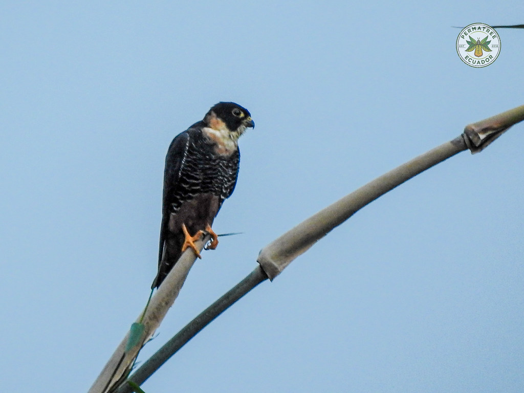 Fauna: Bat falcon (Falco rufigularis)