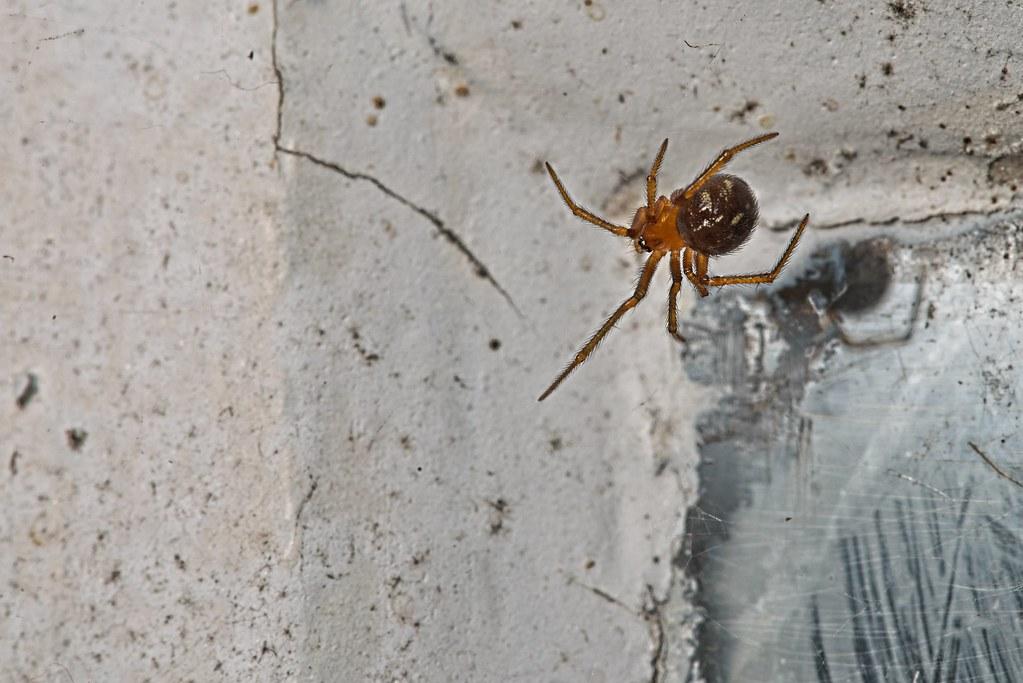 Aranha de 0,5 cm
