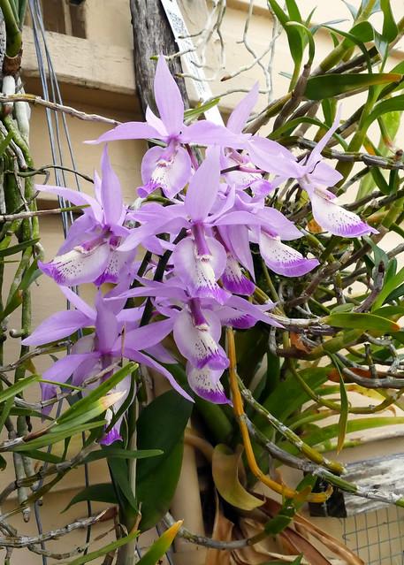 Barkeria spectabilis 1-2 species orchid