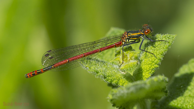 Pyrrhosoma nimphula. Young male.
