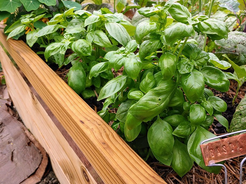 Basil, after harvesting a few cups