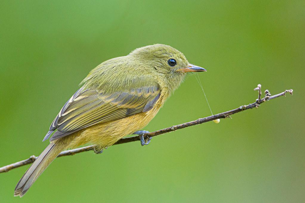 Mionectes oleagineus. Barbosa.Antioquia.Colombia.