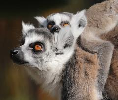 ringtailed lemur Ouwehand BB2A1367