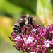 02 Not confirmed by en expert, and many species can look similar, but Sitka bumble bees do occur in our area.