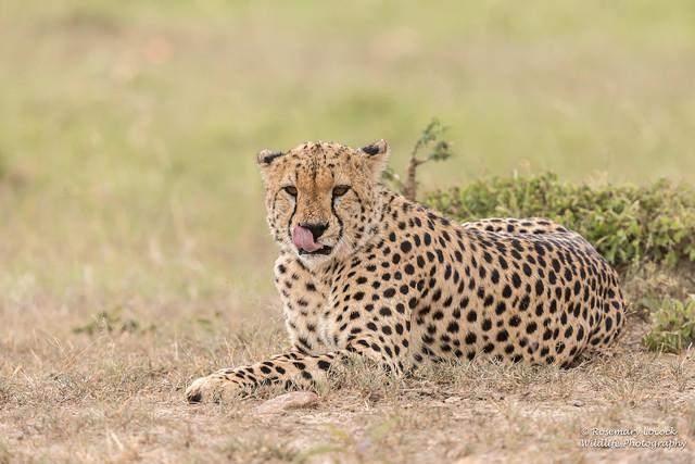 Cheetah - Male - Acinonyx jubatus