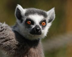 ringtailed lemur Ouwehand BB2A1376