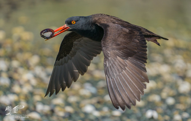 Keep Clam (Black Oyster Catcher)