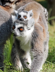 ringtailed lemur Ouwehand BB2A1350