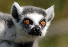 ringtailed lemur Ouwehand BB2A1380