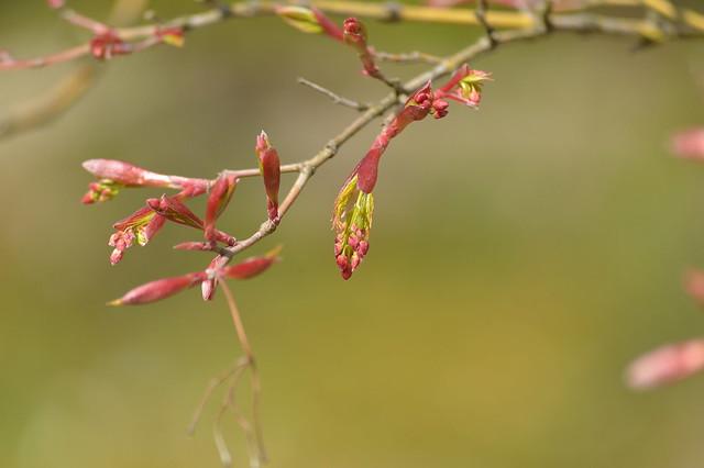 春のモミジ