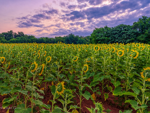 mckeebeshers clouds landscape maryland sky summer sunflowers sunrise