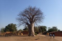 Pedro's baobab, Mangombo, Malawi