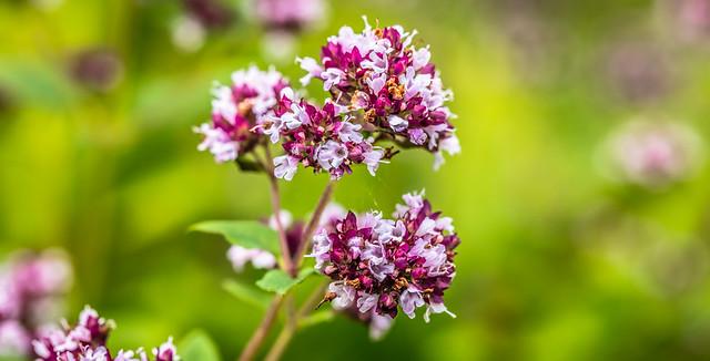 Flowers on oregano